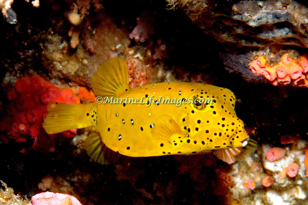 Yellow Boxfish inhabit reefs. Pictue taken Lembeh Straits, Sulawesi, Indonesia.