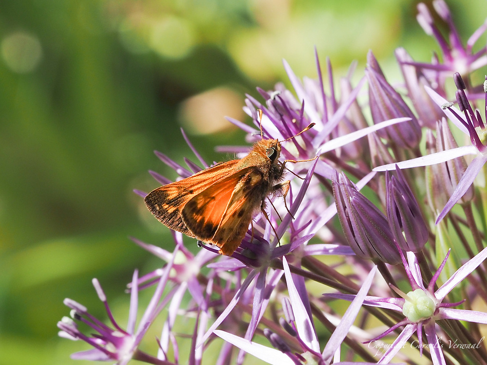 A Zabulon Skipper on a Giant Allium in Shakepeare Garden today May 31, 2021.