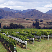 Vineyards with a mountain range backdrop at Spy Valley Winery, Lake Timara Road West. Marlborough. New Zealand. ..The Marlborough wine region is New Zealand's largest wine producer. The Marlborough wine region has earned a global reputation for viticultural excellence since the 1970s. It has an enviable international reputation for producing the best Sauvignon Blanc in the world. It also makes very good Chardonnay and Riesling and is fast developing a reputation for high quality Pinot Noir. Of the region's ten thousand hectares of grapes (almost half the national crop) one third are planted in Sauvignon Blanc. Marlborough, New Zealand, 12th February 2011. Photo Tim Clayton