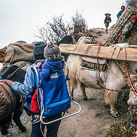 A Sherpa yak herder meets a congestion of yaks, porters and trekkers as he carries 3-year old trekker Ben Wiltsie along the Everest Base camp trail in the Khumbu region of Nepal.