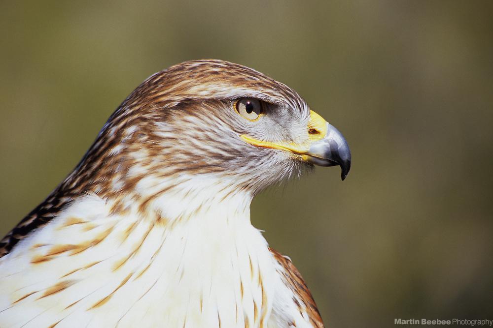 Ferruginous Hawk (Buteo regalis), Arizona-Sonora Desert Museum, Tucson, Arizona