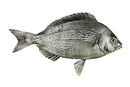Black Sea-bream Spondyliosoma cantharus Length to 55cm<br /> Deep-bodied fish with a steep profile to the head. Ventures into inshore waters in summer months. Adult is bluish-grey overall, darker above than below and tinged reddish on head and underparts. Dorsal fin has spiny rays; pectoral fins are relatively long. Widespread and fairly common in S and W; commonest from Dorset to Sussex.