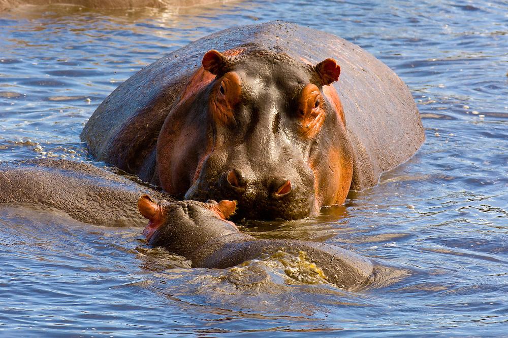 Adult and baby hippos, Ngorongoro Crater, Ngorongoro Conservation Area, Tanzania
