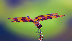 Mature males are distinctive with reddish brown wing markings and a row of red triangles on the abdomen. Females and tenerals have the red largely replaced by yellow and could be mistaken for several other pennants.  See Banded Pennant, Halloween Pennant and Martha's Pennant.  Carolina Saddlebags has a similar basal spot but is much larger and the rest of the wing is clear.