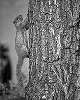 Squirrel climbing a tree at the Boulder Marriott Residence Inn. Late spring nature in Colorado. Image taken with a Nikon D2xs camera and 200 mm f/4 macro lens (ISO 400, 200 mm, f/4, 1/60 sec).