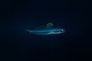 Ptereleotris evides (Twotone dartfish)