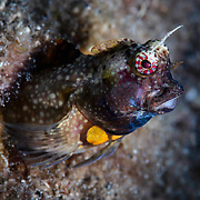 This is a male Salarias luctuosus combtooth blenny, a species that is found in shallow waters throughout a limited range in Japan, from Wakayama prefecture down through the Ryukyu islands. This male is displaying breeding coloration. It was competing with another male to attract the attention of a nearby female.