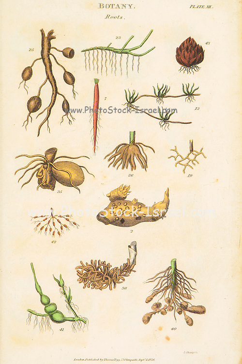 """Hand drawn Roots part of Botanical images depicting the Linnean Classification system [Carl Linnaeus (23 May 1707 – 10 January 1778), also known after his ennoblement as Carl von Linné was a Swedish botanist, zoologist, taxonomist, and physician who formalised binomial nomenclature, the modern system of naming organisms. He is known as the """"father of modern taxonomy"""". Many of his writings were in Latin, and his name is rendered in Latin as Carolus Linnæus (after 1761 Carolus a Linné). Published by T. Tegg in London in 1826"""