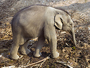 Noy An, a female baby Asian elephant born in January 2015 at the Elephant Conservation Center (ECC) in Sayaboury province, Lao PDR. The ECC launched in association with the NGO ElefantAsia offers an innovative experience to visitors that combines conservation of the endangered Asian elephant with eco-tourism. Laos was once known as the land of a million elephants but now there are fewer than 900 living in the country. Around 470 of them are in captivity, traditionally employed by a lucrative logging industry. But captive elephants are often overworked and exhausted and as a consequence no longer breed. With only two elephants born for every ten that die, the Asian elephant, the sacred national emblem of Laos, is under serious threat of extinction. At the Elephant Conservation Center in Sayaboury province, the elephant nursery is an innovative reproduction project led by Lao mahouts and the Center. It relies on voluntary participation and aims to support mahouts involved in logging to bear the cost of breeding their elephant.