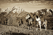 The Grand projects from the Jackson Hole valley floor behind a wrangler and his horses on a cold morning in early summer.