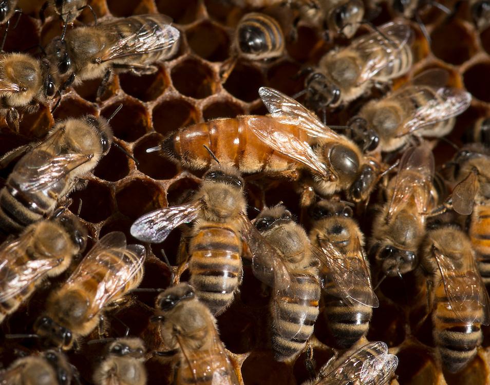 European honey bee (Apis mellifera), queen laynig eggs, Captive,  credit: Palo Alto JMZ/M.D. Kern