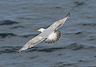 Herring Gull Larus argentatus L 56-62cm. Noisy, familiar bird and our most numerous large gull species. Often follows boats. Bold when fed regularly. Sexes are similar. Adult in summer has blue-grey black and upperwings, with white-spotted, black wingtips; plumage is otherwise white. Legs are pink, bill is yellow with orange spot, and eye is yellow with orange-yellow ring. In winter, similar but with dark streaks on head and nape. Juvenile and 1st winter are mottled grey-brown with streaked underparts. Legs are dull pink, bill is dark and spotted pale tail has dark tip. Adult plumage acquired over 3 years. 2nd winter bird is similar but has grey back and grey areas on upperwing. Tail is white with dark tip. 3rd winter resembles winter adult but has more black on wingtips and hint of dark tail band. Voice Utters distinctive kyaoo and anxious ga-ka-ka. Status Common, mainly coastal in summer, nesting on seacliffs and in seaside towns. Widespread and more numerous in winter due to migrant influx.