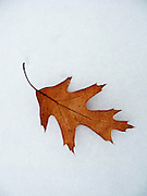 06 DECEMBER 2008 -- MINNETONKA, MN: A leaf in the snow near Minnehaha Creek in Minnetonka, MN.  PHOTO BY JACK KURTZ