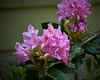 Rhododendron. Image taken with a Nikon D850 camera and 70-300 mm VR lens.