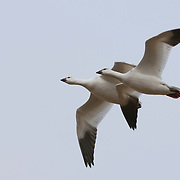 Snow Geese (Chen caerulescens) heading south, one of them with a wing injury from a gun shot by a local waterfowl hunter. South of Churchill, Manitoba on Hudson Bay