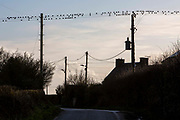 Starlings sitting on telecommunication wires across a country lane on 17th February 2020 in Anglesey, North Wales, United Kingdom.