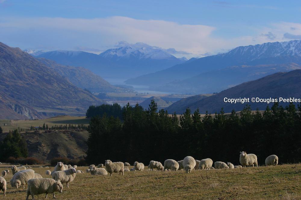 Sheep farm, Queenstown area, South Island, New Zealand