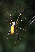 A Golden Silk Spider (Nephila clavipes) on its web, Cumberland Island, Georgia.