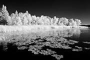 Waterlilies along the shoreline of Lake of teh Woods<br />Morson<br />Ontario<br />Canada
