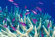 purple anthias or yellowstriped fairy basslet, Pseudanthias tuka, in Acropora coral, Susans Reef, Kimbe Bay, New Britain, Papua New Guinea ( Bismarck Sea )