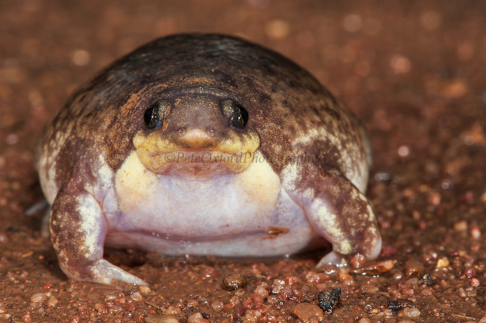 Mottled shovel-nosed frog (Hemisus marmoratus)<br /> Marataba, A section of the Marakele National Park, Waterberg Biosphere Reserve<br /> Limpopo Province<br /> SOUTH AFRICA<br /> HABITAT & RANGE: Burrowing and spend most of their live underground in marshy and sandy riverbanks of bush veld savanna