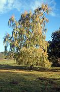 Autumn colours of silver birch tree on the Sandlings heathland, Shottisham, Suffolk, England