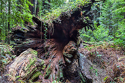 Root of a long fallen giant Redwood Tree in the Humboldt Redwoods.  These redwoods take hundreds of year to rot into the earth, in the mean time all kinds of moss and bushes make it their home.
