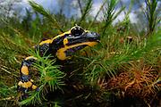The fire salamander (Salamandra salamandra) is probably the most well-known salamander species in Europe. | Der Feuersalamander (Salamandra salamandra) ist eine Amphibienart aus der Familie der Echten Salamander.