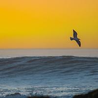 Birds fly above waves washing ashore on the California coast at sunset near Pescadero, California.