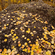 Rocks covered with fallen bright yellow colored Aspen leaves. Colorado. Fall.