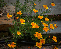 Yellow California Poppy. Image taken with a Leica CL camera and 60 mm f/2.8 lens (ISO 100, 60 mm, f/5, 1/1000 sec).
