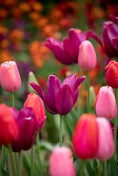 Tulips 'Merlot', 'Avignon' and 'Menton'