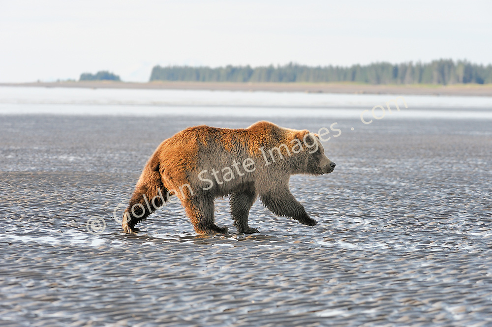 Young boar on the tidal flats at low tide. <br /> <br /> Brown Bears and Grizzly Bears are the same species. In general Bears living within 50 miles of the coast are considered browns. Animals living further inland are considered Grizzlies.  <br /> <br /> Grizzlies are omnivores feeding on a variety of plants berries roots and grasses in addition to fish insects and small mammals. Salmon are a key part of their diet. Normally a solitary animal they will congregate along streams and rivers during Salmon runs. Weight to over 1200 pounds.    <br />  <br /> Range: Native to Asia Africa Europe and North America. Now extinct in much of their original range.    <br />   <br /> Species: Ursus arctos
