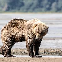 Alaska coastal brown bear, Chinitna Bay, Lake Clark National Park, Alaska