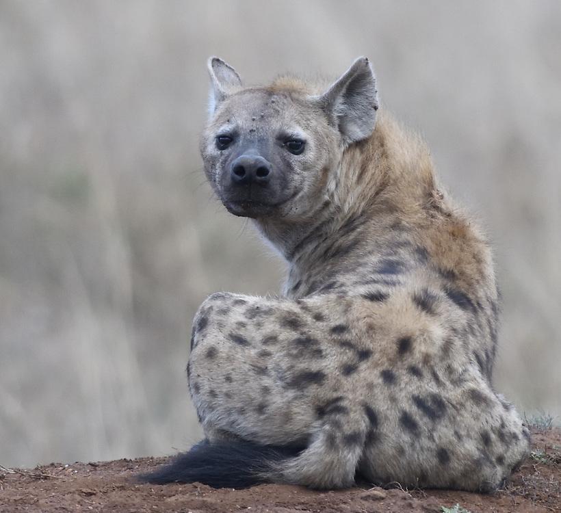 A spotted hyena (Crocuta crocuta) rests on an old termite mound. Serengeti National Park, Tanzania.