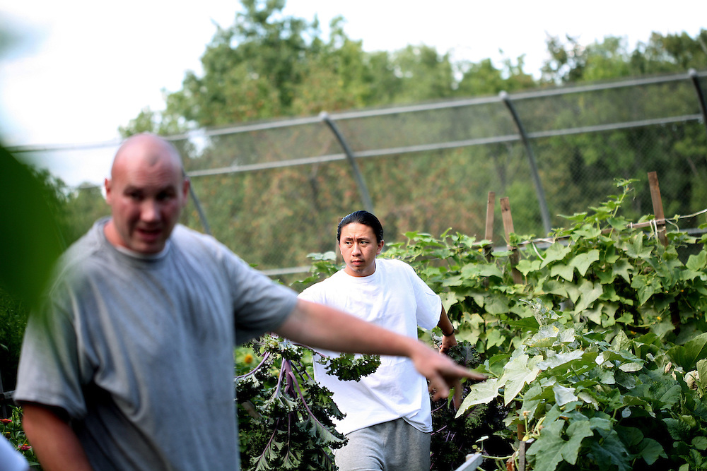 Hlee Vang, right, carries a large stalk of kale as he and other inmates harvest vegetables in the garden at the Minnesota Correctional Facility in Red Wing August 20, 2012.