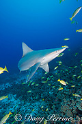 sandbar shark, Carcharhinus plumbeus, and bluestripe snapper or taape, Lutjanus kasmira, Honokohau, North Kona, Hawaii ( the Big Island), United States ( Central North Pacific Ocean )