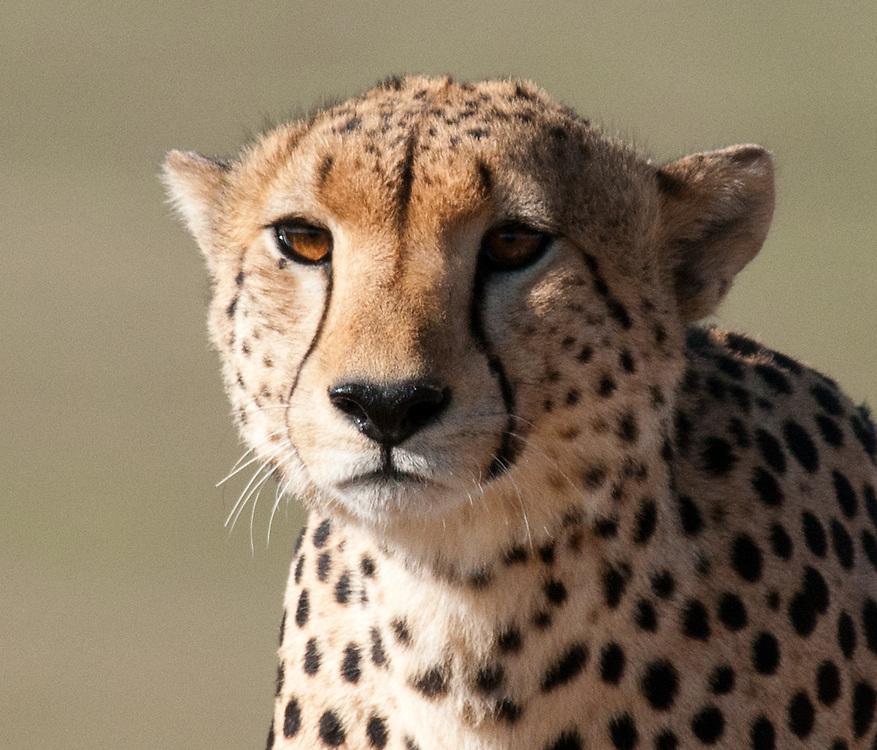 The Cheeta - Duma - closeup