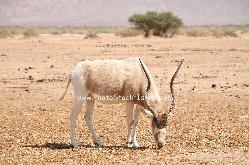 Addax (Addax nasomaculatus) critically endangered desert antelope, Extinct in the wild in Israel. Photographed at the Yotvata Hai-Bar Nature Reserve breeding and reacclimation centre. Aravah, Israel