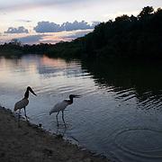 Jabiru Stork, Pantanal, Brazil