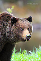 Grizzly bear, BC