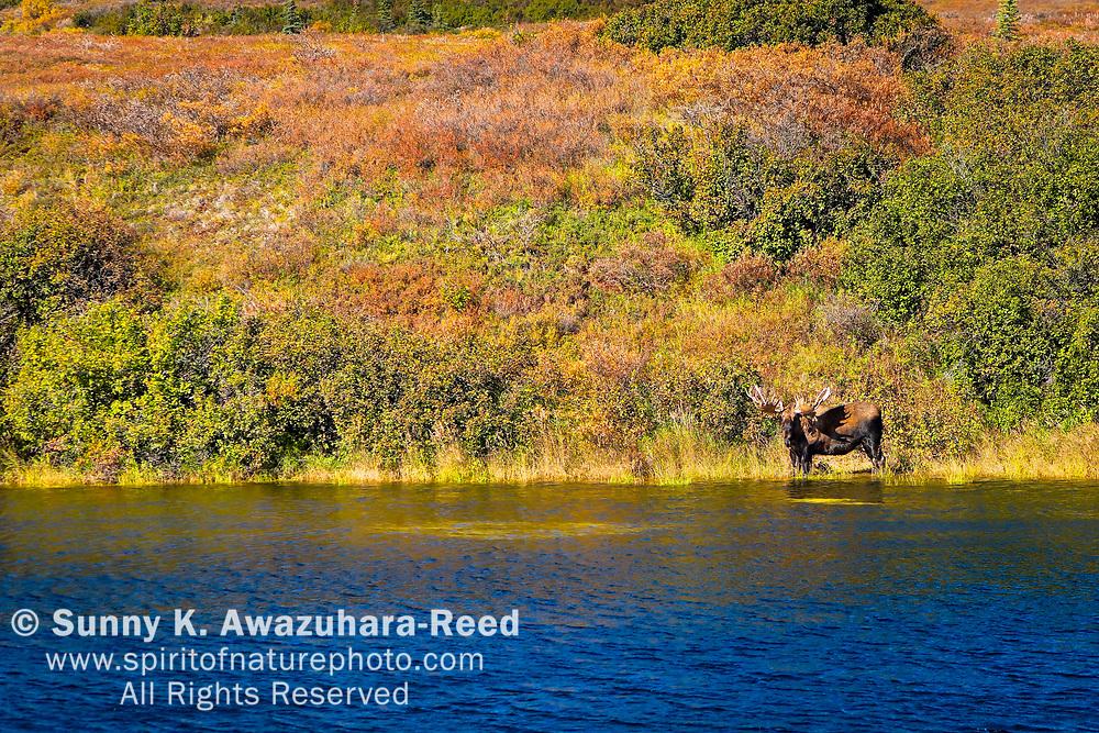Bull Moose at lake. Fall color tundra hill in the background. Denali National Park & Preserve, Interior Alaska, Autumn.