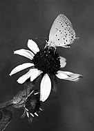 A Tiny Butterfly, The Eastern Tailed Blue Hairstreak, Everes comyntas, Dining On Black Eyed Susan Nectar