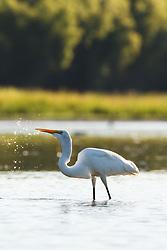 Great egrets, Lemon Lake, Great Trinity Forest near Trinity River, Dallas, Texas, USA.