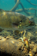 Rusty Crayfish and Smallmouth Bass<br />