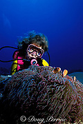 diver examines anemone with clown fish,<br /> Yap, Federated States of Micronesia,<br /> ( Western Pacific Ocean )
