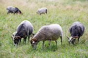 Gotland sheep graze at Charlottenburg Palace (Schloss Charlottenburg), Berlin, Germany, August 05, 2021.