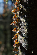 Monarch Butterflies mass on a tree trunk in the Cerro Chincua mountain at the Monarch Butterfly Biosphere Reserve in Cerro Chincua central Mexico in Michoacan State. Each year hundreds of millions Monarch butterflies mass migrate from the U.S. and Canada to Oyamel fir forests in the volcanic highlands of central Mexico. North American monarchs are the only butterflies that make such a massive journey--up to 3,000 miles (4,828 kilometers).