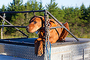 Bear hound on pick-up truck in Wisconsin