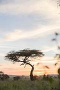Landscape with a single acacia tree in the savannah under a moody sky at sunset, Serengeti National Park, Tanzania